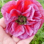 angel's choir (Papaver rhoeas (Corn poppy))