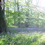 Bluebells in Longacre Wood