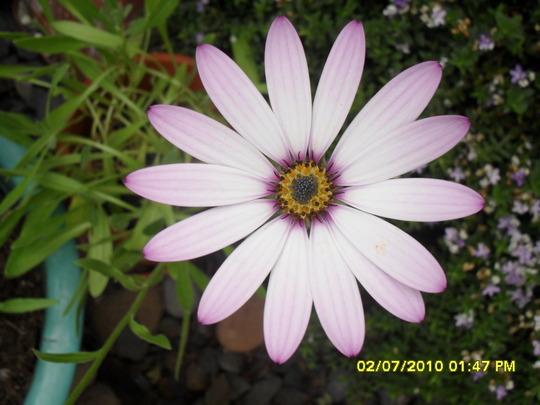 mesembryanthemum (Mesembryanthemum crystallinum (Buzotu))