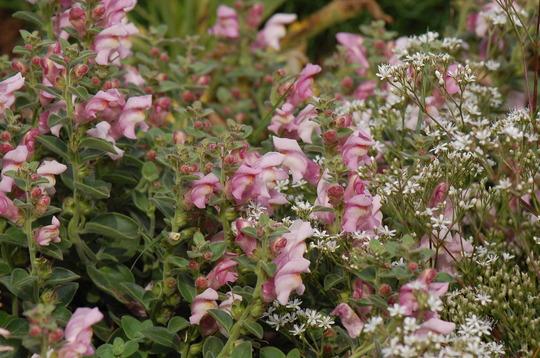 Antirrhinum hispanicum 'roseum' (Antirrhinum hispanicum)
