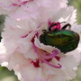 Beetle in Dianthus 'Grans Favourite'