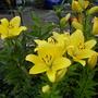 Asian_lillies