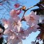 Cherry Blosom~Prunus Sargentii (Prunus sargentii)