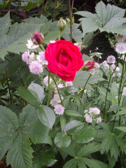 Rosa (deep red)) (Rosa (deep red))