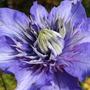 Clematis 'multi-blue'