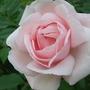 Rose - New Dawn