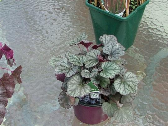new plant heauchera sugar frosting