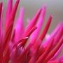 Cactus_dahlia_r