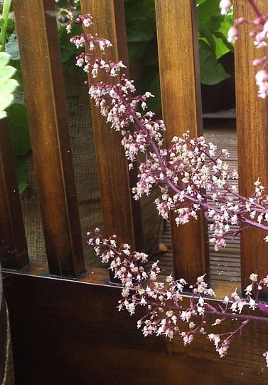 Heuchera flowers