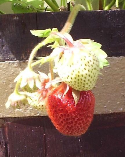 "Strawberry ""Glory Red"""