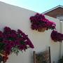 Petunia Wall Boxes
