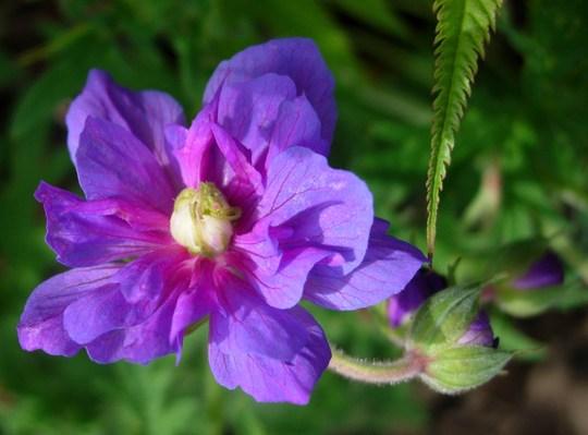 Geranium Pratense Violaceum Plenum