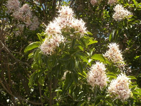 Calodendrum capense - Cape Chestnut (Calodendrum capense - Cape Chestnut)