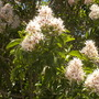 Calodendrum capense - Cape Chestnut (Calodendrum capense - Cape Chestnut)