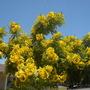 Cassia leptophylla - Gold Medallion Tree (Cassia leptophylla - Gold Medallion Tree)