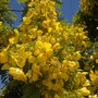 Cassia leptophylla - Gold Medallion Tree Flowers (Cassia leptophylla - Gold Medallion Tree)