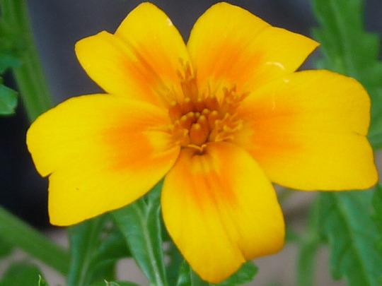 Tagetes (Tagetes tenuifolia (Tagetes))