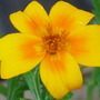 Tagetes (Tagetes tenuifolia (Tagetes))
