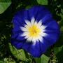 Convolvulos_tricolour_Blue_flash.jpg