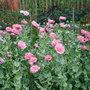 Allot_poppies_3