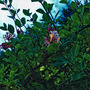 HoneySuckle (Lonicera periclymenum (Honeysuckle))