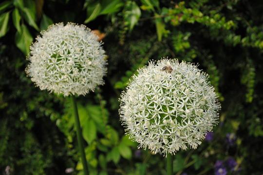 Allium - Mount Everest (Allium stipitatum)