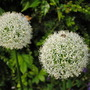 Allium - Mount Everest (Allium stipitatum)