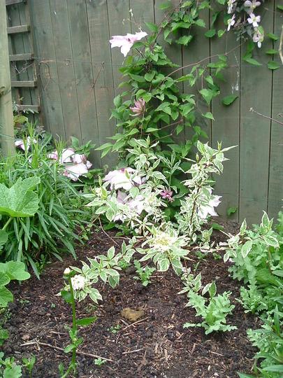"A garden flower photo (cornus alba ""Sibirica variegata"")"
