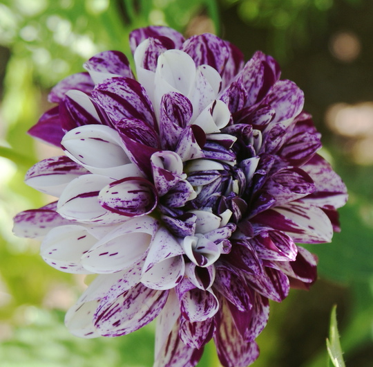 "Dahlia"" Marble Ball "" (Dahlia Pinnata { Decorative Dahlia})"