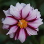"Dahlia ""Edge of Joy"" (Dahlia Pinnata)"