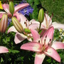 "Earlier than last year...Lilium ""Vermeer"""