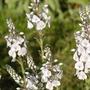 Veronica gentianoides 'Tissington White' (Veronica gentianoides 'Tissington White')
