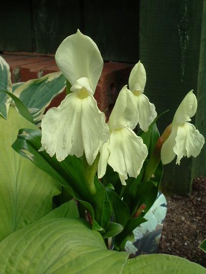 Kew Beauty (Roscoea)