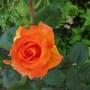 Doris Tysterman hybrid tea rose Tangerine with paler edges (Rose Doris Tysterman)