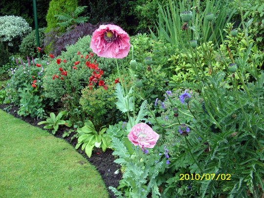 Wow wee! Meconopsis poppies from seeds   from Amy