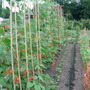 Beans_at_allotment