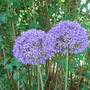 Allium_purple_sensation_