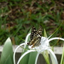 Butterfly on a lily