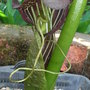 Arisaema griffithii