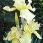 Bearded_iris_-_2.jpg (Bearded iris)