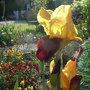 Bearded_iris_-_3.jpg (Bearded iris)