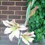 Gladiolus tristis - 1 (Gladiolus tristis)