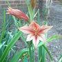 Gladiolus_tristis_2