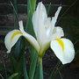 Iris_xiphium_spanish_iris