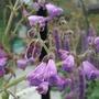 Salvia hians (Salvia hians)