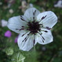 Nigella 'African Queen' (Nigella damascena (Love-in-a-mist))