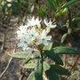 Ledum groenlandicum (Ledum groenlandicum)