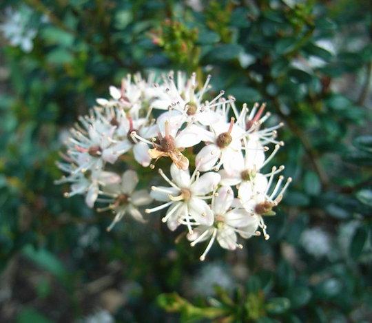 Leiophyllum buxifolium (Leiophyllum buxifolium)