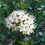 Leiophyllum buxifolium (Leiophyllum buxifolium)