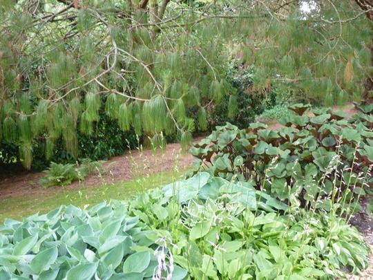 Pine Lodge Water Garden with Ligularia & Hosta